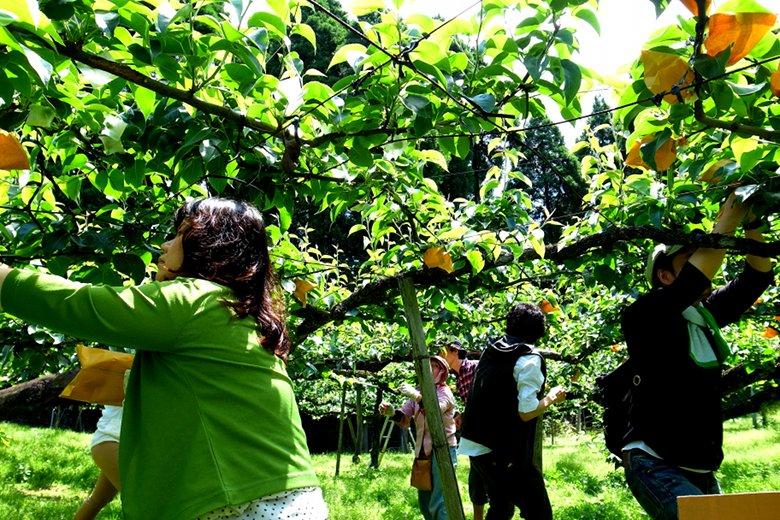 やなファーム 梨の袋掛け体験